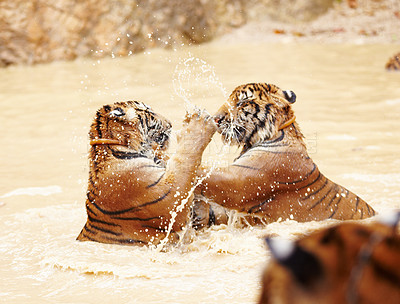 Buy stock photo Playful Indochinese tigers fighting in the water