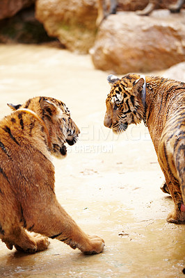 Buy stock photo Two competitive tigers at the Tiger Temple in Thailand