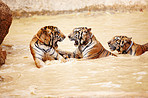Three Indochinese tigers fighting in the water