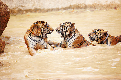 Buy stock photo Three Indochinese tigers fighting in the water