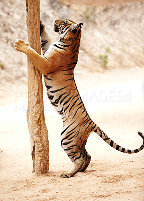 Buy stock photo Tiger standing on its hind legs at a scratching pole