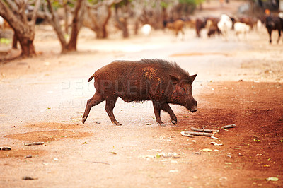Buy stock photo Wild Thai boar trotting over the road