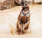 Majestic tiger jumping out of the water