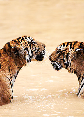 Buy stock photo Two tigers in a dam facing eachother
