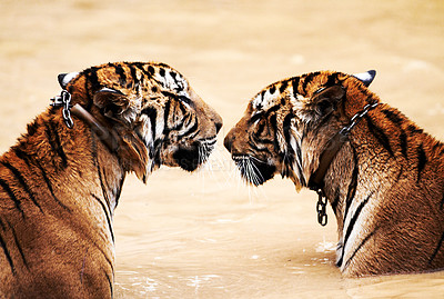 Buy stock photo Tigers facing each other while sitting in a dam