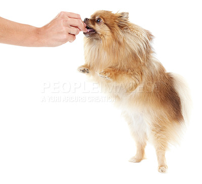 Buy stock photo Pomeranian standing on its hind legs to get a treat from its trainer