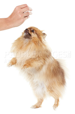 Buy stock photo Adorable pomeranian standing on its hind legs to get a treat