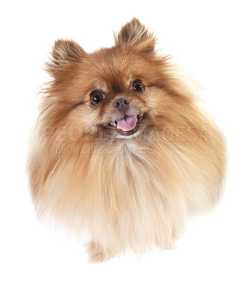 Buy stock photo High-angle view of a pomeranian looking straight up at the camera