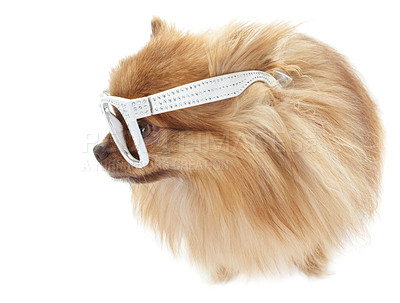 Buy stock photo Cute pomeranian wearing white-rimmed glasses looking sideways