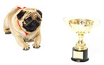 Award-winning pug with his eye on the prize
