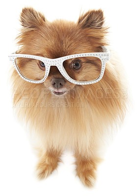 Buy stock photo Cute little pomeranian wearing funky white-rimmed glasses with diamante detail