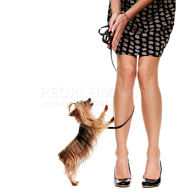 Buy stock photo Cropped imageof a young woman's legs as she bends to call her yorkshire terrier - Isolated