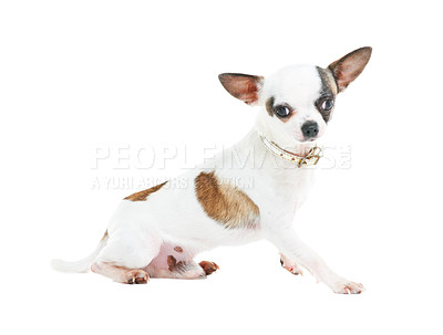 Buy stock photo A cute little Chihuahua sitting against a white background