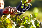 Keeping the grapevine in tip top shape