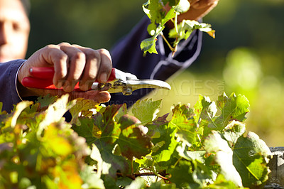 Buy stock photo Cropped shot of a man's hands clipping a grapevine