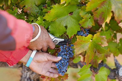 Buy stock photo Cropped shot of a man's hands harvesting grapes