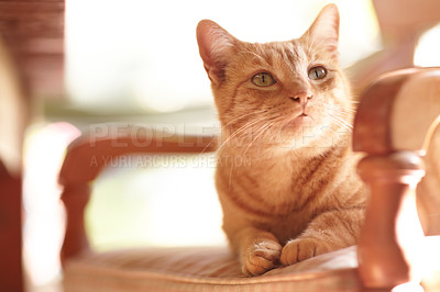 Buy stock photo An adorable ginger tabby sitting on a chair in the sunlight