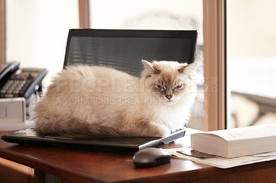 Buy stock photo A fluffy siamese cat taking a timeout on its owner's laptop