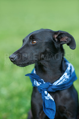 Buy stock photo A black canine sitting in his lawn