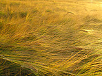 Nature's ripe harvest - Wheat