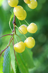 A photo of yellow autumn cherries