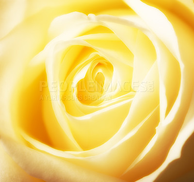 Buy stock photo A close-up photo of a yellow rose