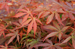 Japapnes Maple leaves in autumn
