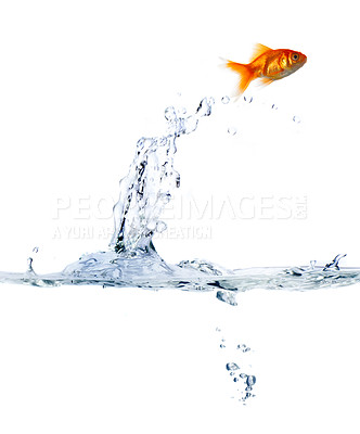 Buy stock photo High resolution image of a goldfish leaping out of the water