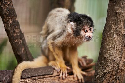 Buy stock photo Shot of a cute little monkey in a sactuary