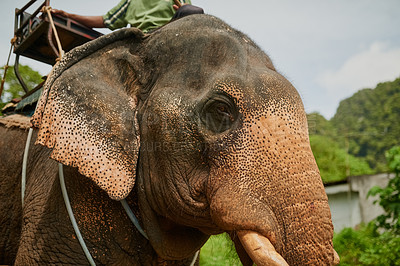 Buy stock photo Low angle shot of an asian elephant with a seat tied to its back
