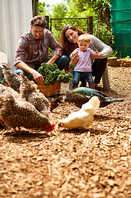 Buy stock photo Shot of a couple with their baby girl walking by chickens in their organic garden