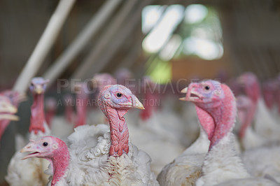 Buy stock photo Shot of a flock of turkeys grouped together in a barn where they get fed