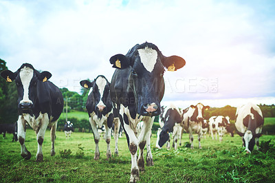 Buy stock photo Shot of a herd of cattle on a dairy farm