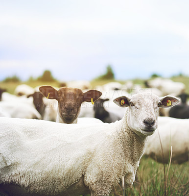 Buy stock photo Shot of a flock of sheep grazing on a farm