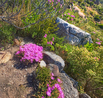 Buy stock photo Mountain flowers - Table Mountain National Park