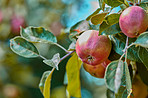 Beautiful apples in my garden