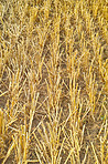 Cornfields - background