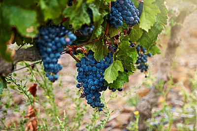 Buy stock photo Still life shot of a bunch of grapes growing on a vineyard