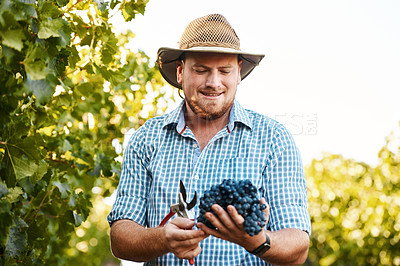 Buy stock photo Shot of a farmer holding a bunch of grapes in a vineyard