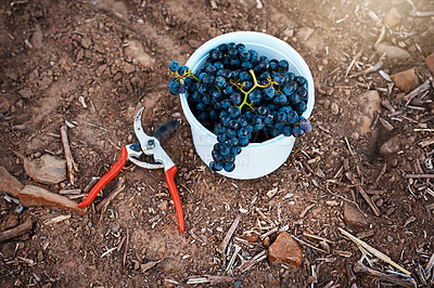 Buy stock photo Still life shot of a grapes in a bucket with a pair of scissors next to it on the ground