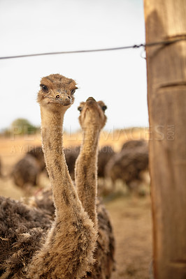 Buy stock photo Shot of two ostriches on a farm