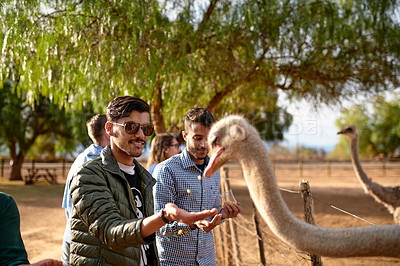 Buy stock photo Shot of two young men feeding ostriches on an ostrich farm
