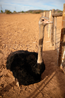 Buy stock photo Shot of an ostrich on a farm