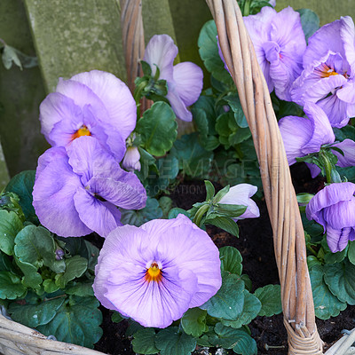 Buy stock photo Pansies in the garden