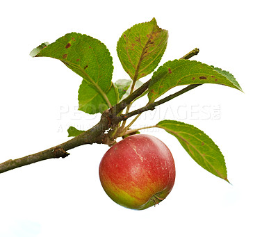 Buy stock photo A photo of Red apples on apple tree branch