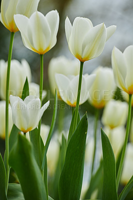 Buy stock photo A photo of beautiful white tulips in the garden in early springtime