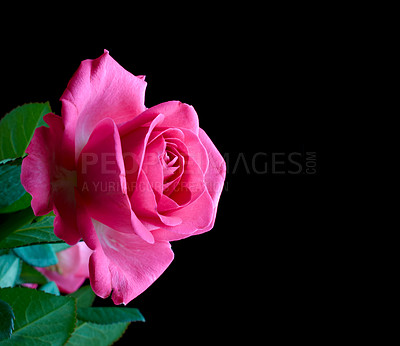 Buy stock photo A  photo of a red rose