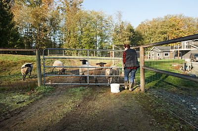 Buy stock photo Shot of a mature woman feeding the animals on her farm