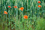Wheat fields with poppies in early summer