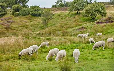 Buy stock photo Sheep in Denmark